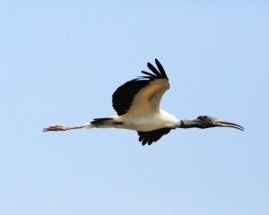 Wood Stork in the Air