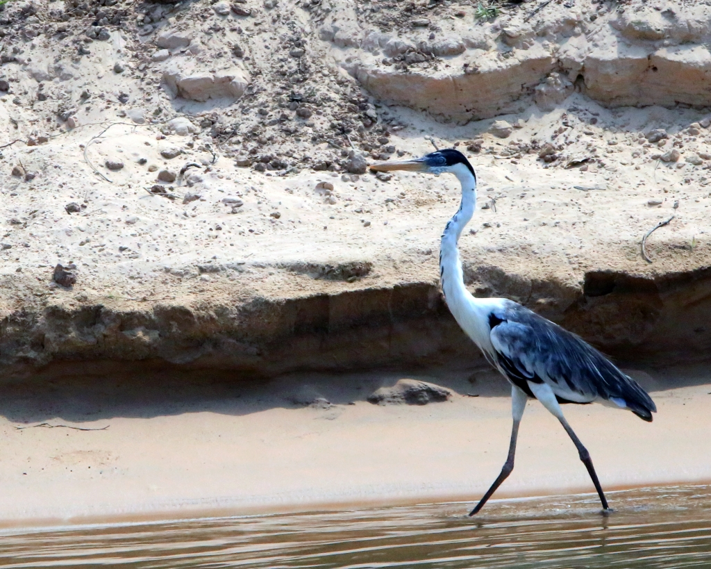A cocoi heron struts his stuff