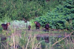 More Capybara and babies