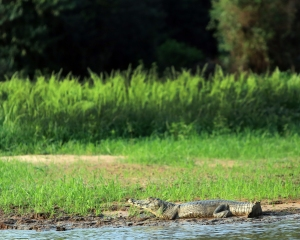 More caiman just chillin on the sides of the riverbank