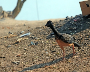 Bare Faced Curassow- our first endangered species