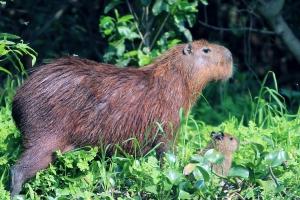 Capybara and baby: too cute!