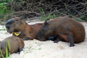 Cute Capybara family with the birdy that's always with them