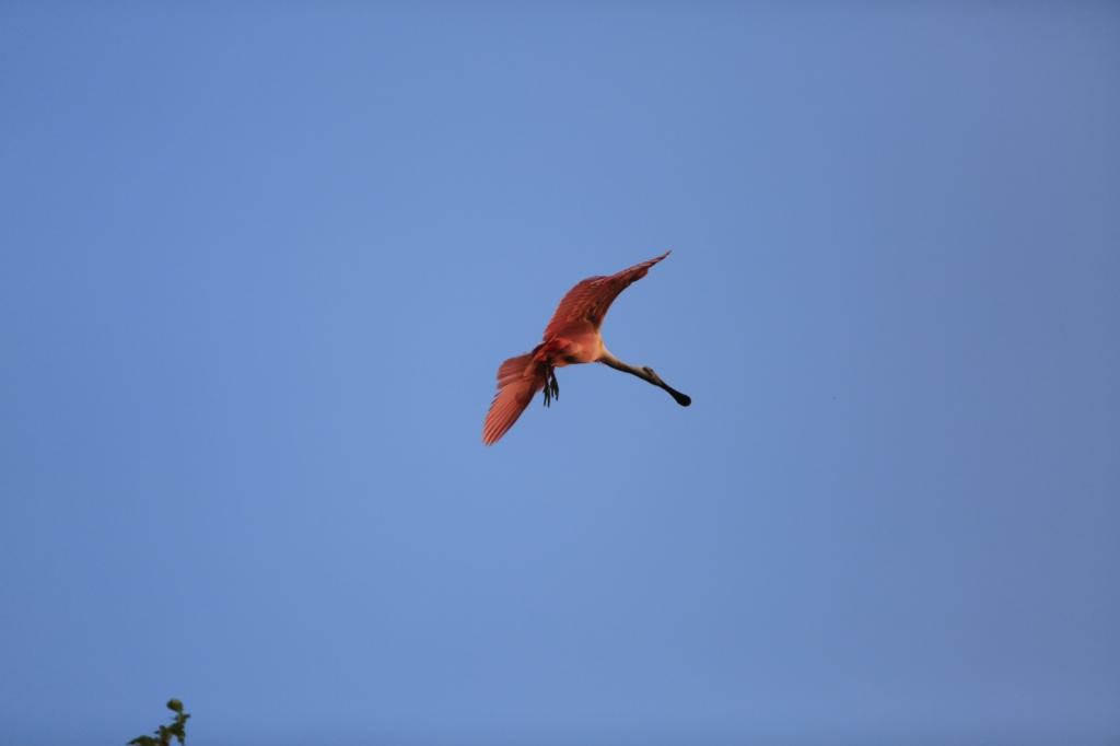 A roseatte spoonbill in flight