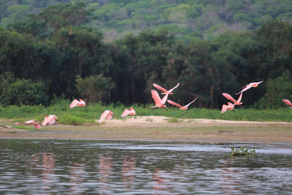 Roseatte Spoonbills- their pink flamingo color stands out against the wilderness