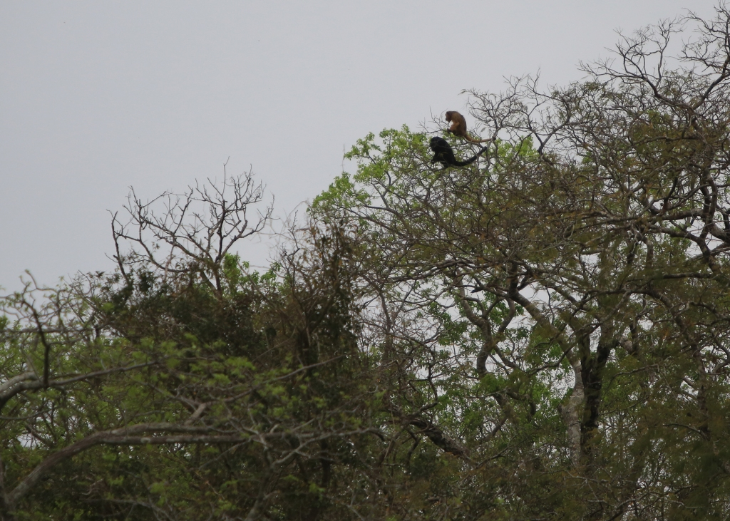 Howler Monkeys high up in the tree during a not so sunny day