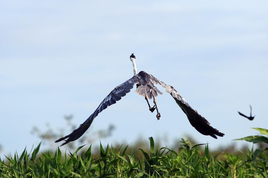 Cocoi Heron in flight