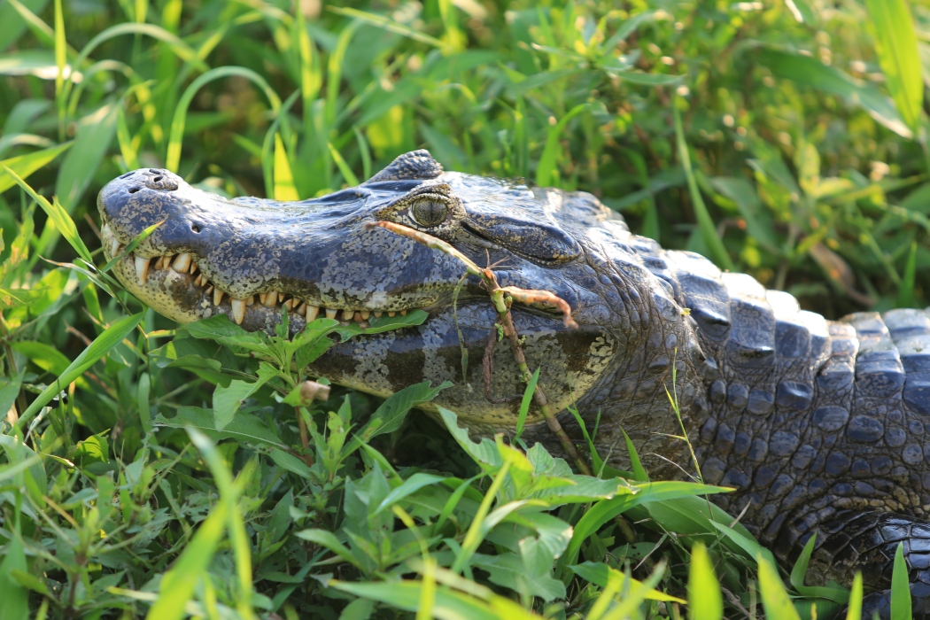 Up close and personal with the caiman