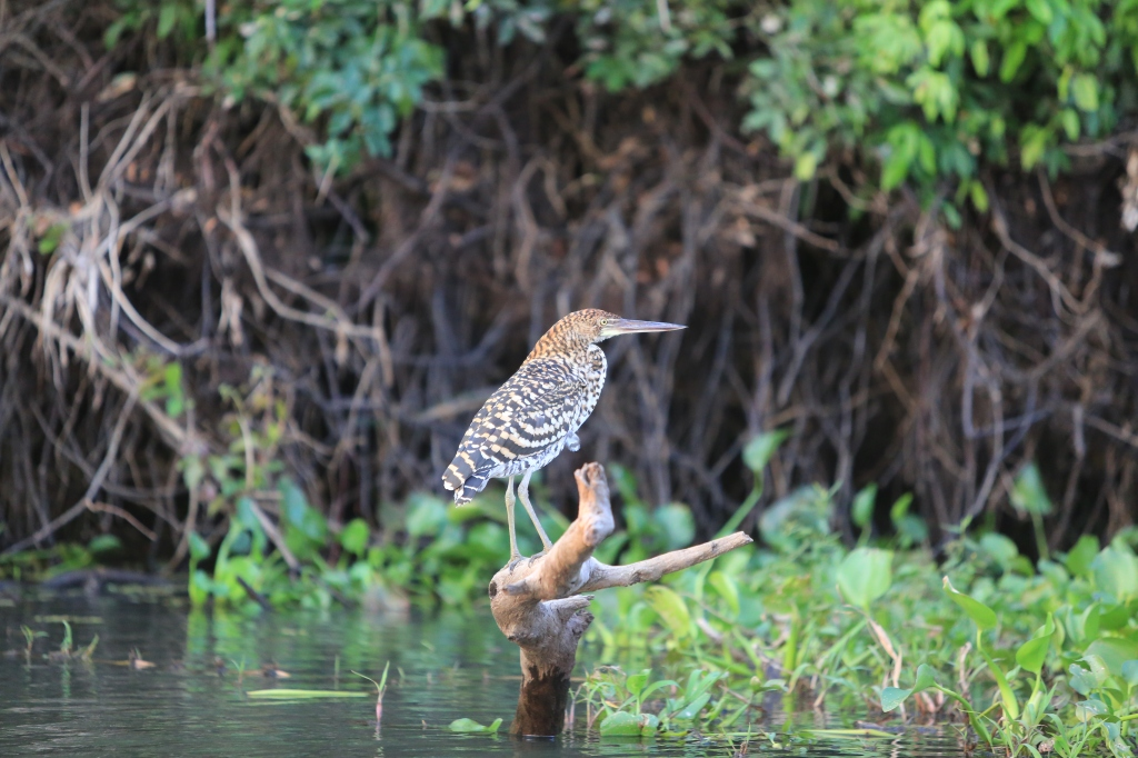 Refescent Tiger Heron: One of Jon's favorite birds in the Pantanal