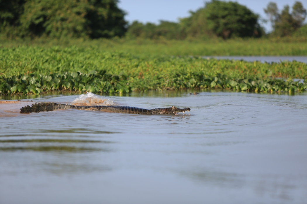 We also heard a lot of splashes as the caiman jumped into the water
