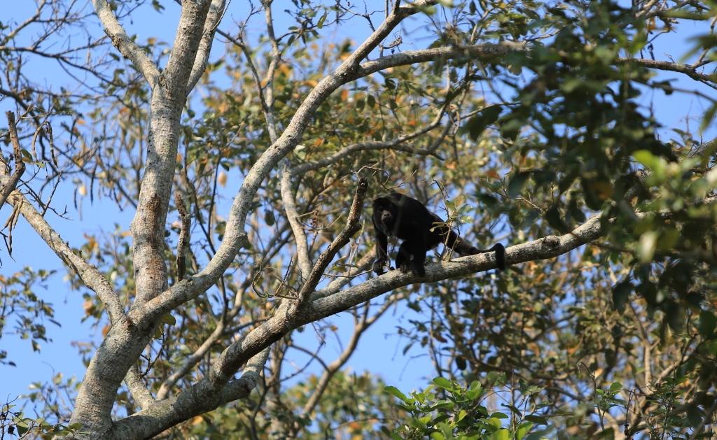 Howler Monkey closer and in better light