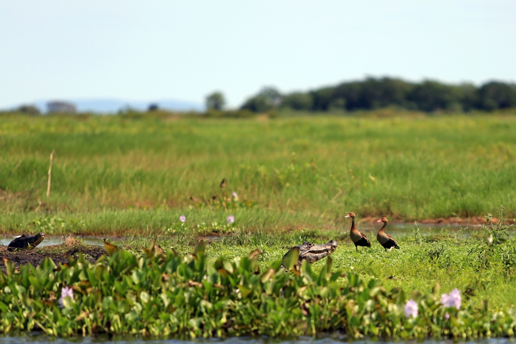 Black Belly Whistling Ducks with some Caiman