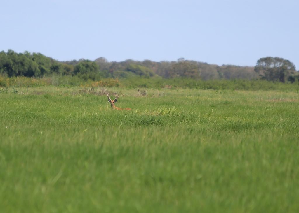 Marsh Deer in the distance