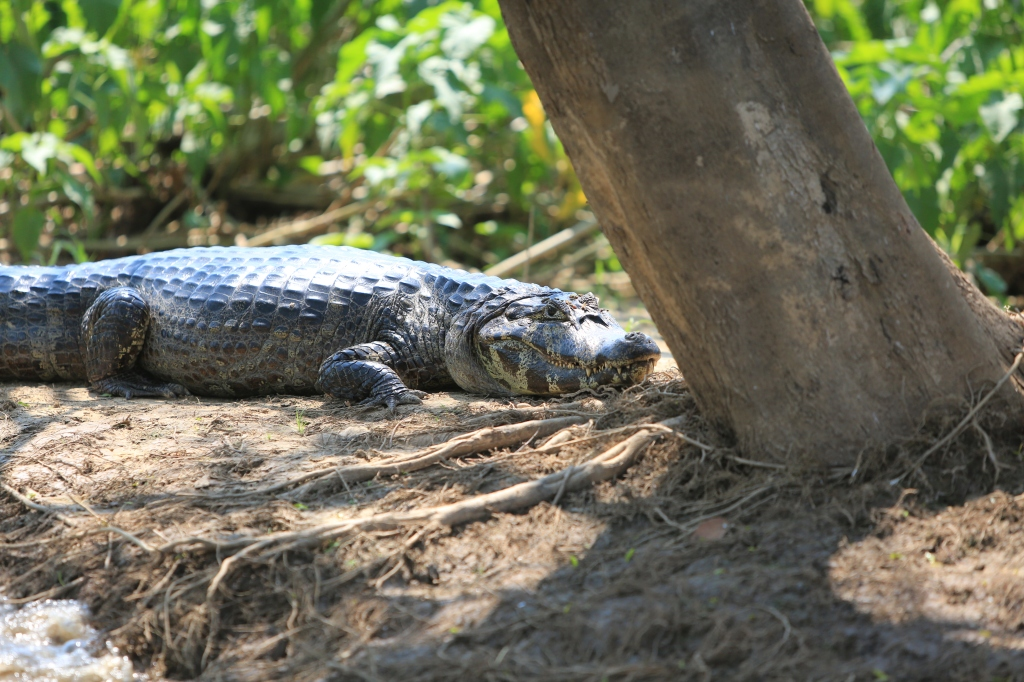 Caiman by the tree