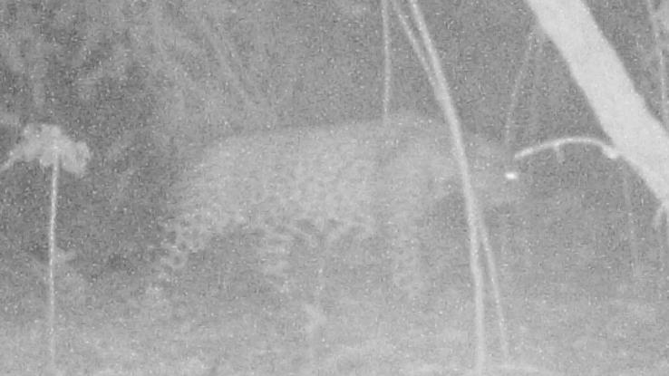 Jaguar captured on the night camera