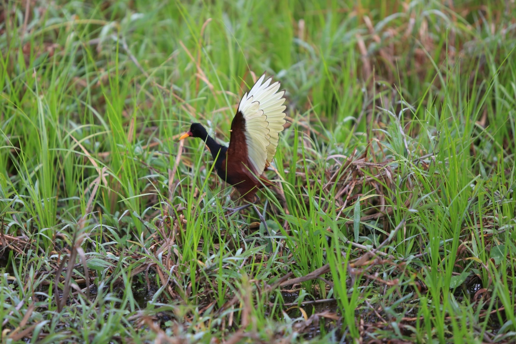 A wattled jacana in areas 4 and 5 walking around with his baby