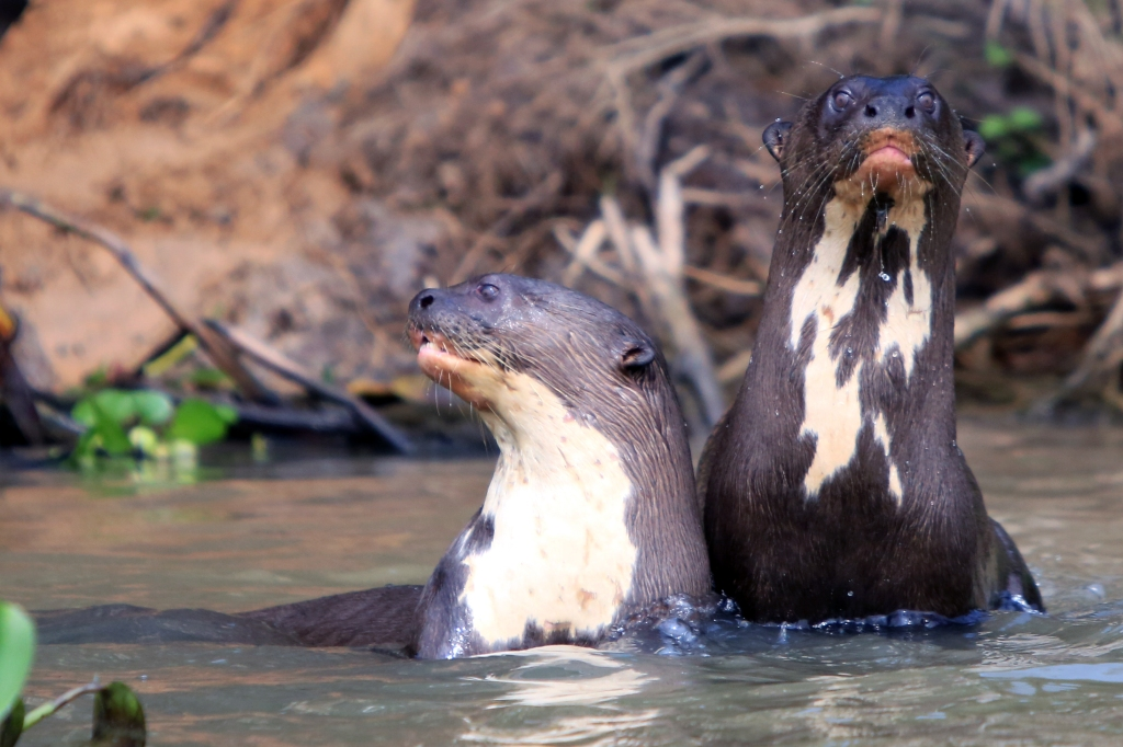 river otters at play