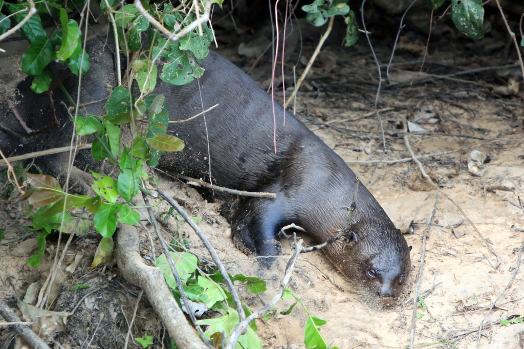 River Otter sliding down the bank into the water