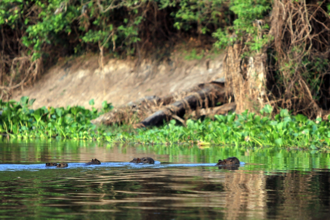 A family of capibara swim in the water