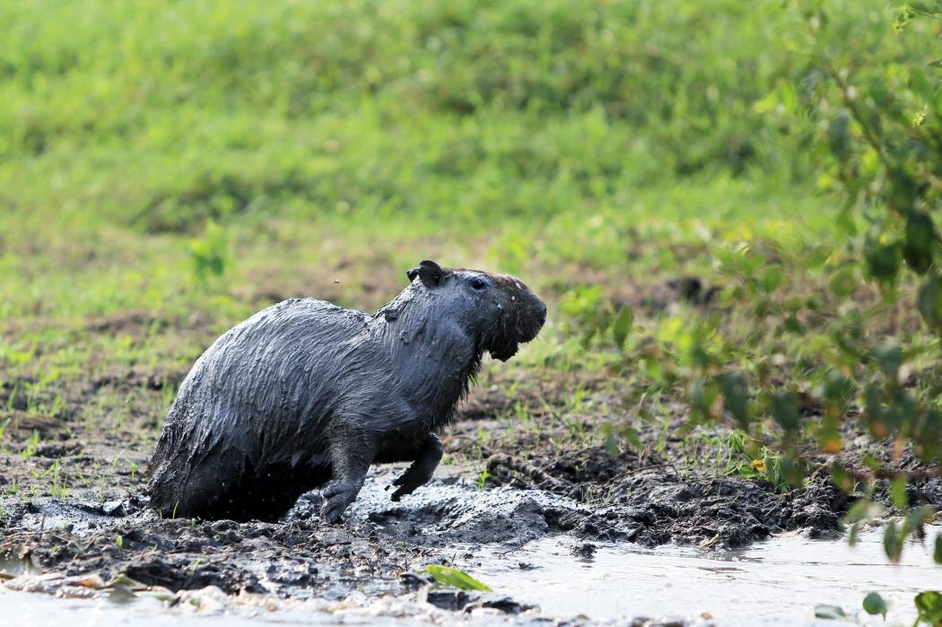 Muddy capybara
