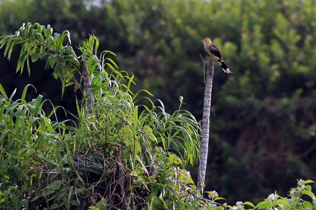 Guira Cuckoo on the farm