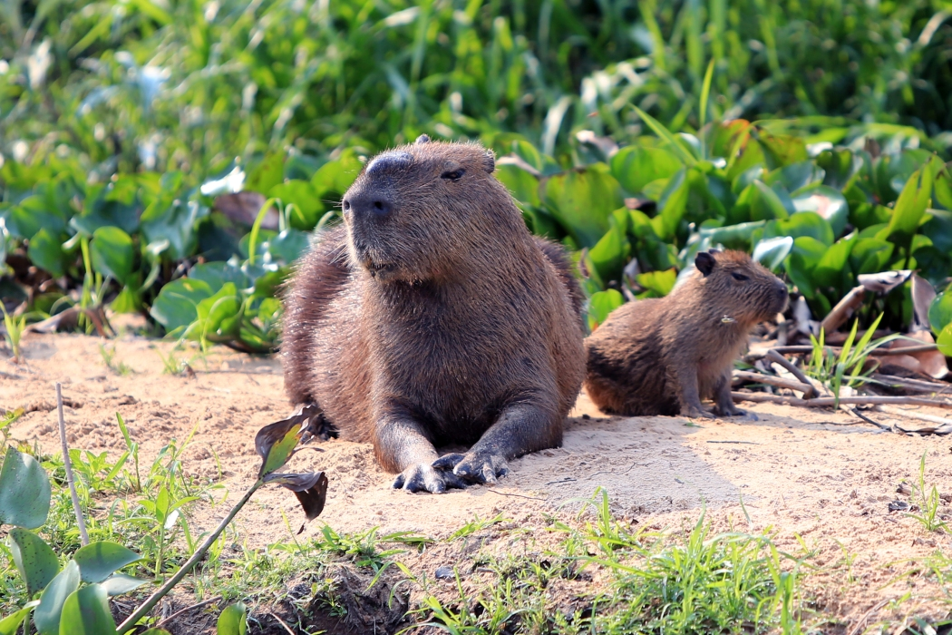 Cute capybara on the riverbank