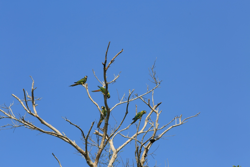 More Macaw up in the trees