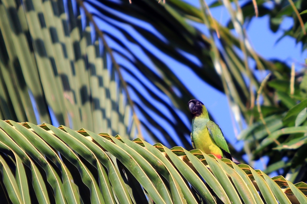 Black Capped Parakeet