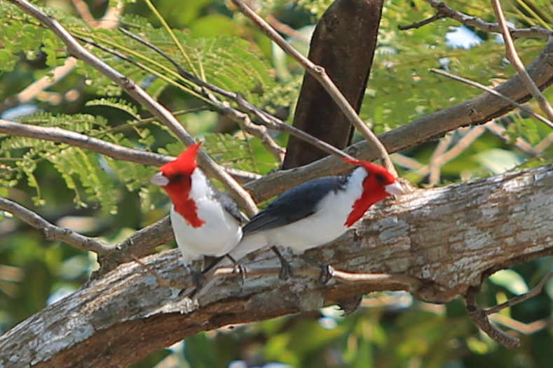 Red headed Cardinals- small but beautiful birds