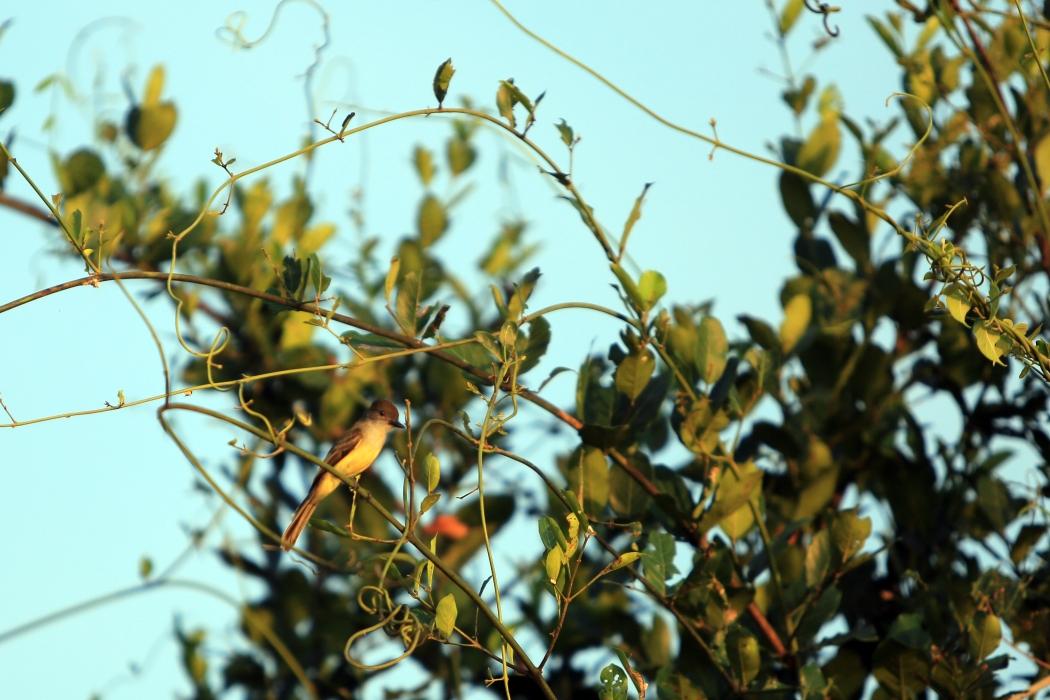 Dusky Capped Parakeet