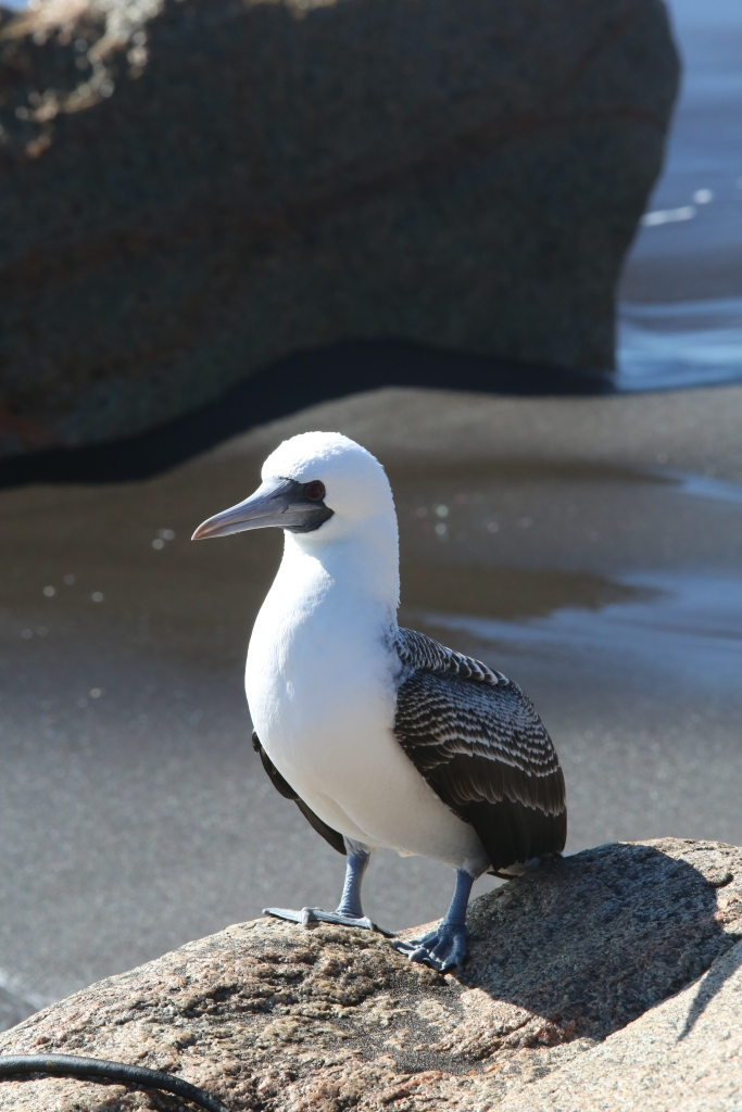 I'm pretty sure this is a blue footed booby.  Can anyone tell me what bird this is?