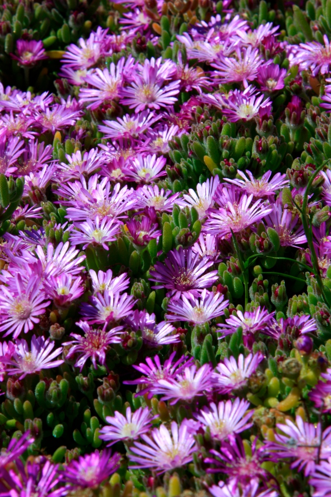 More bright flowers, Cachagua Beach